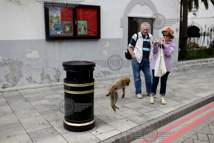 A tourist photographs a Barbary Macques, one of a population of around 300 and the only wild monkeys in Europe, as it leaps from a rubbish bin. Superstition holds that if ever the Apes leave Gibraltar, the British will go too.