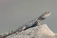 425900012 a wild great basin fence lizard sceloporus occidentalis longipes perches on a large granite rock along chalk bluff road near bishop in inyo county california