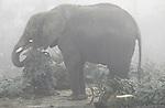 Foto: VidiPhoto<br /> <br /> RHENEN - Wat voor de olifanten van Ouwehands Dierenpark in Rhenen een feestmaal had moeten worden en voor de bezoekers een bijzonder fotomoment, ging donderdag letterlijk de mist in. Althans voor de bezoekers. Door de hardnekkige mist was nauwelijks te zien hoe de dikhuiden zich tegoed deden aan de malse attractie van overtollige kerstbomen.De tientallen onverkochte bomen zijn aangeleverd door een handelaar uit de buurt en dienen nu als voedsel voor de olifanten. Het is een jaarlijks terugkerend festijn tot smakelijke verrijking van de dieren en tot groot vermaak van de bezoekers. Dat laatste bleek echter een mistige zaak.
