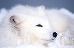 Arctic Fox, Alopex lagopus, Minnesota, in snowy landscape.USA....
