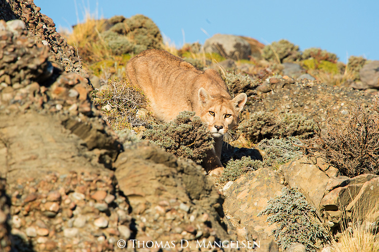 A Puma makes eye contact as it descends a ridge in Patagonia, Chile.