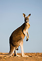 Australia,  NSW, Sturt National Park; red kangaroo male (Macropus rufus); the red kangaroo population increased dramatically after the recent rains in the previous 3 years following 8 years of drought