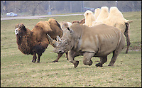 BNPS.co.uk (01202 558833).Pic: IanTurner/BNPS..Fearsome Rhino turns Runofferous as protective Camel dad gets the hump...Frothty reception.....A three ton Rhino throwing its weight around at the Longleat Safari park in Wiltshire was sent packing by a feisty Bactrian camel looking after its newly born daughter. The notoriously bad tempered Rhino even suffered the indignity of a bite on its retreating rump as the fearless dromedary chased it round the park...Proud father Dougie was looking after his newly born daughter Nikki when the short sighted White Rhino strolled to close to them, As the calf took flight the protective father leapt into action and a high speed chase ensued leaving Marashi the White Rhino red faced...Fortunately with both species being endangered in the wild it was only the Rhino's pride that was damaged.