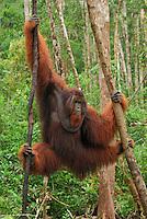 Borneo Orangutan (Pongo pygmaeus), male  hanging onto treesCamp Leaky, Tanjung Puting National Park, Kalimantan, Borneo, Indonesia