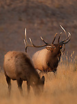 A bull elk smells the air; the cow in the foreground gives off a scent signaling her readiness for breeding.   During the elk rut, bulls assemble harems of up to 60 cows and will vigorously defend these harems from other bulls, Yellowstone National Park, Wyoming, USA, October 5, 2009.  Photo by Gus Curtis