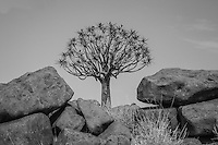 Quiver Tree in Giant's Playground near Keetmanshoop, Namibia