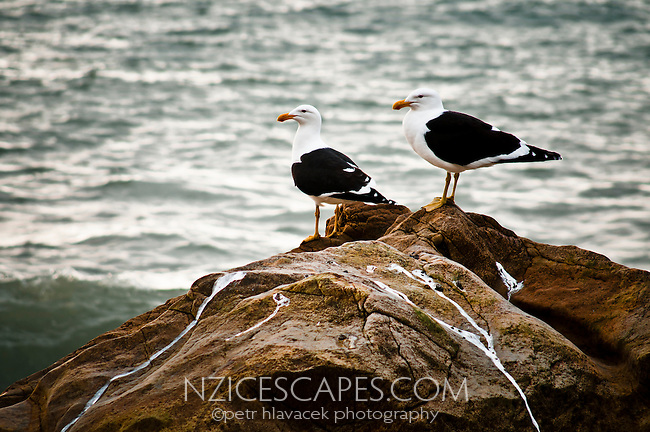 A pair of seagulls on a rock - South Westland, West Coast, New Zealand