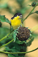 537160005 a wild male lesser goldfinch carduelis psaltria perches on a dead sunflower seed pod in the rio grande valley of south texas