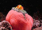Amphiprion nigripes.(Black-Footed Clown Fish)
