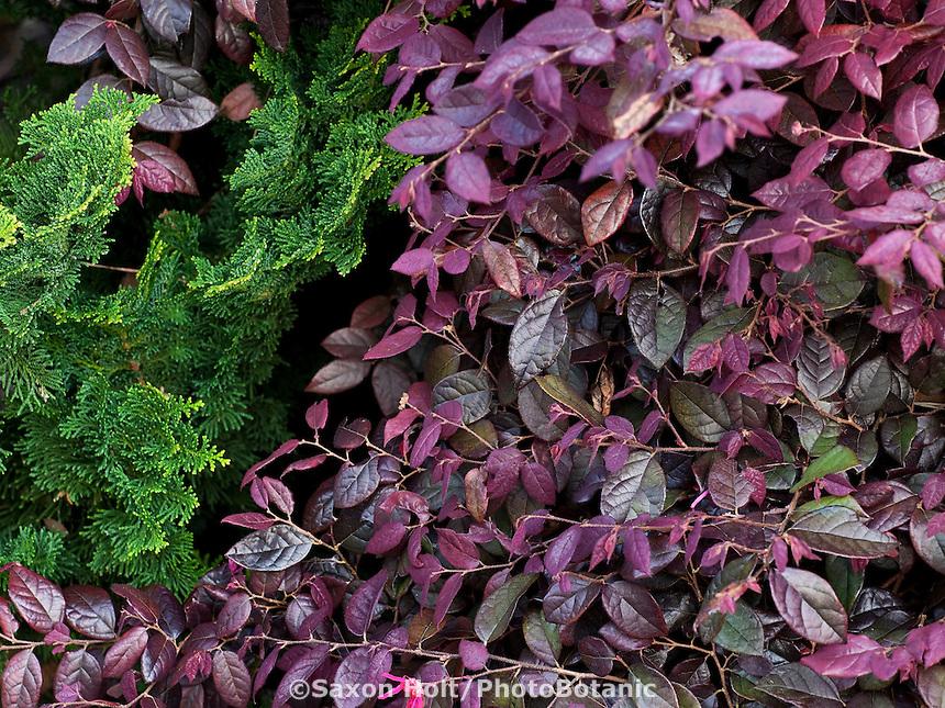 Loropetalum chinense v. Rubrum ' Burgundy', purple leaf drought tolerant shrub in San Francisco Botanical Garden
