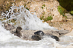 Children's Pool, La Jolla, California; a newborn Harbor Seal (Phoca vitulina) pup and it's mother are hit by an incoming wave while laying on the sandy beach