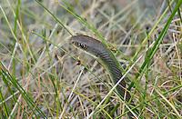 462000001 a wild western yellow-bellied racer coluber constrictor mormon crawls through deep meadow grass along ash creek near ash creek campground lassen county california