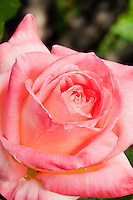 Hybrid Tea Rose (Rosa ) 'Diana, Princess of Wales'  pink flower.