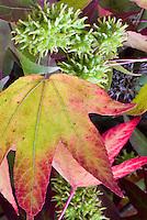 Liquidambar styraciflua fall autumn foliage leaves, sweetgum tree, seedheads and leaf
