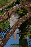 Tawny Frogmouth at its daytime roost in Brisbane, Australia.   //    Tawny Frogmouth - Podargidae: Podargus strigoides. Length to 50cm, wingspan to 95cm, weight to 600g. Also known as Tawny-shouldered Frogmouth, Mopoke (incorrectly - that is the Boobook Owl), Frogmouth-Owl. Occurs in open woodland throughout Australia, Tasmania, southern New Guinea. Nocturnal, preys on insects, other invertebrates and small vertebrates on the ground which, generally are pounced upon from a perch - the wide beak is not used in flight. Weak anisodactyl toes useless for catching prey.  This bird is roosting during the daytime in a Poinciana Tree in a suburban street. Also known to roost in family parties either in trees, or (uncommon) on the ground. IUCN Status: Least Concern.  //   Poinciana Tree: Caesalpiniaceae: Delonix regia. Height to 10m, flowers to 8cm, compound feather-like leaves, seed capsule bean-like, dark-brown length to 60x5cm. Endemic to Madagascar, where Endangered. Now widespread in cultivation throughout tropical and sub-tropical areas of the world. Drought tolerant, popular in cultivation for the unusual shape - like an open umbrella -  and bright flowers.  //Eric Lindgren//