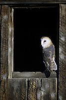 Barn Owl watching from an old barn window