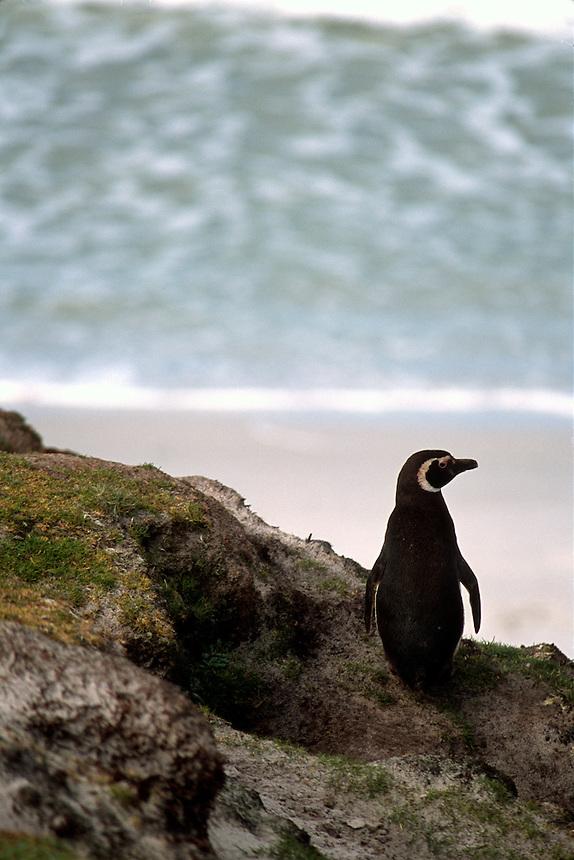 A magellanic penguin surveys the shoreline at a rookery on the Falkland Islands.