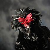 23/11/12 - MONTLUCON - ALLIER - FRANCE - Concours National Avicole de Montlucon. GR Coq Houdan noir cailloute blanc. Eleveur Jean Pierre Gleizes - Photo Jerome CHABANNE