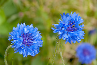 Blue flowers of bachelor buttons Centaurea cyanus 'Blue Boy'
