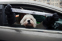 "Moscow, Russia, 26/02/2012..A dog looks from a car as an occupant waves a ribbon with the words ""Russia without Putin"". Tens of thousands of people formed a 16-kilometre [10-mile] human chain along Moscow's Garden Ring Road in the latest protest against Prime Minister Vladimir Putin and his presidential election campaign. Opposition activists estimated that they needed 34,000 people to complete the chain and symbolically encircle central Moscow."