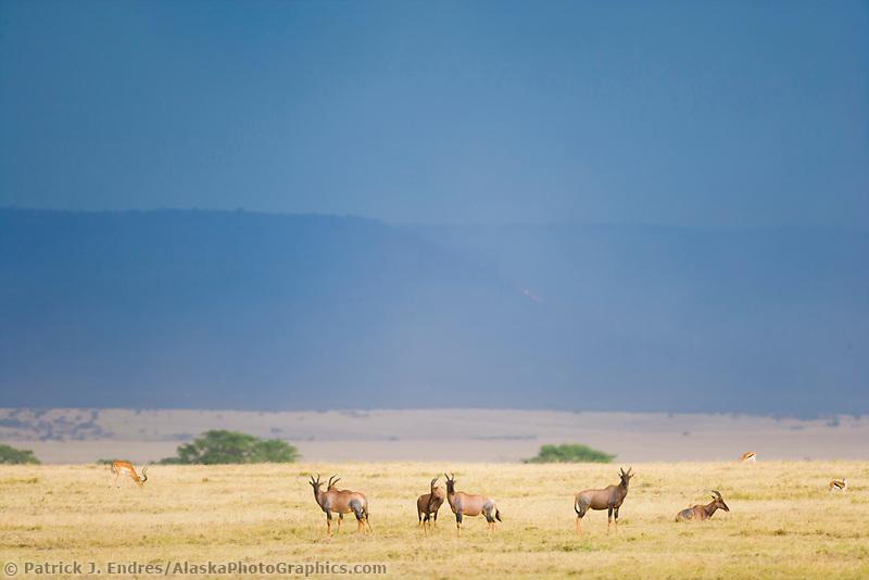 Topi on the plains of the Masai Mara, Kenya, Africa