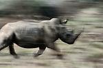 White Rhinoceros, Phinda Reserve, South Africa