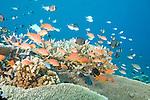 Rainbow Reef, Somosomo Strait, Fiji; an aggregation of Reticulated Dascyllus (Dascyllus reticulatus) fish, Blue-green Chromis (Chromis viridis) fish, Bicolor Chromis (Chromis margaritifer) fish, Charcoal Damsel (pomacentrus brachialis) fish and Scalefin Anthias (Pseudanthias squamipinnis) fish swim above a large staghorn plate coral on the coral reef, the female Scalefin Anthias far outnumber the males