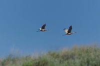 512660003 a pair of wild sandhill cranes grus canadensis take flight at dismal swamp modoc county california