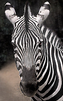699739701 a portrait of a captive wildlife rescue burchells zebra equus burchelli at a wildlife rescue facility in southern california