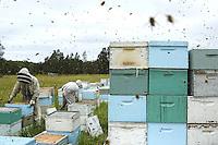 Honey harvest at Ben Brown's apiary near Newcastle on the east coast. 27 years old, Ben Brown set up as a professional beekeeper four years ago. Son of a beekeeper, Ben began the profession at the age of 16 by helping his father; today he owns 600 hives and has produced nearly 80 tons of honey. A true record but Ben is still setting himself up and he does the maximum to be able to invest and buy for himself land and a warehouse.///Récolte de miel sur le rucher de Ben Brown près de Newcastle sur la côte Est. À 27 ans, Ben Brown s'est installé comme apiculteur professionnel il y a quatre ans. Fils d'apiculteur, Ben a commencé le métier à 16 ans en aidant son père, il possède aujourd'hui 600 ruches et à produit près de 80 tonnes de miel. Un vrai record mais Ben s'installe et il fait le maximum pour pouvoir investir et s'acheter un terrain et un hangar.