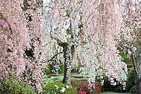 Weeping Higan Cherry tree (Prunus subhirtella 'Pendula') in spring at Filoli estate garden with white flowers