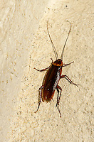 Cockroach in Puerto Rico