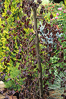 Weeping purple beech tree with yellow false cypress Fagus sylvatica 'Purpurea  Pendula'