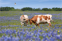 This is one photograph in a series featuring Longhorns at play in a sea of Texas wildflowers - bluebonnets this time around. They even have some company as cowbirds dance at their feet.