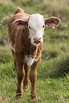 Brazoria County, Damon, Texas; a spotted, newborn calf standing in a pasture