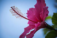 Stigma, Anthers and the broad pink petals dominate a hibiscus close up.