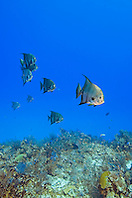 Atlantic Spadefish, Chaetodipterus faber, West End, Grand Bahama, Atlantic Ocean