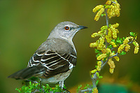 559429013 a wild northern mockingbird mimus polyglottos perched on a flowering plant in the rio grande valley of south texas