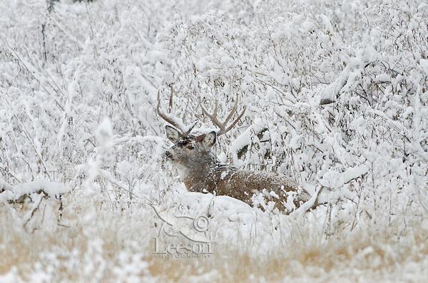 White-tailed Deer buck (Odocoileus virginianus) resting during snowstorm, Western U.S., Late Fall.