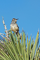 598060036 a wild adult cactus wren campylorhynchus brunniecepillus perches on the spine leaves of a joshua tree yucca brevifolia in southern kern county california