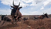 Eastern White-bearded Wildebeest herd running in migration (Connochaetes taurinus), Maasai Mara National Reserve, Kenya.