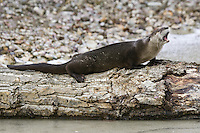 River Otter yawning while lying on a log in a frozen pond - CA