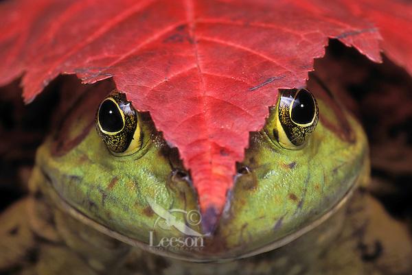 Bullfrog (Rana catesbeiana) & red maple leaf..Autumn. North America..