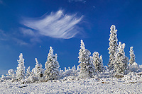 Snow covered spruce trees, clouds and moon, north of Fairbanks, Alaska