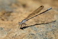 338610013 a wild female vivid dancer argia vivida perches on a rock along piru creek at frenchman's flat los angeles county california