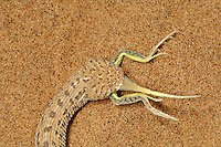 Peringueys Sidewinding Adder (Bitis peringueyi) eating lizard prey, Namib Desert, Namibia.