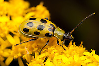 Spotted Cucumber Beetle (Diabrotica undecimpunctata) feeding on a Goldenrod plant, Ward Pound Ridge Reservation, Cross River, Westchester County, New York