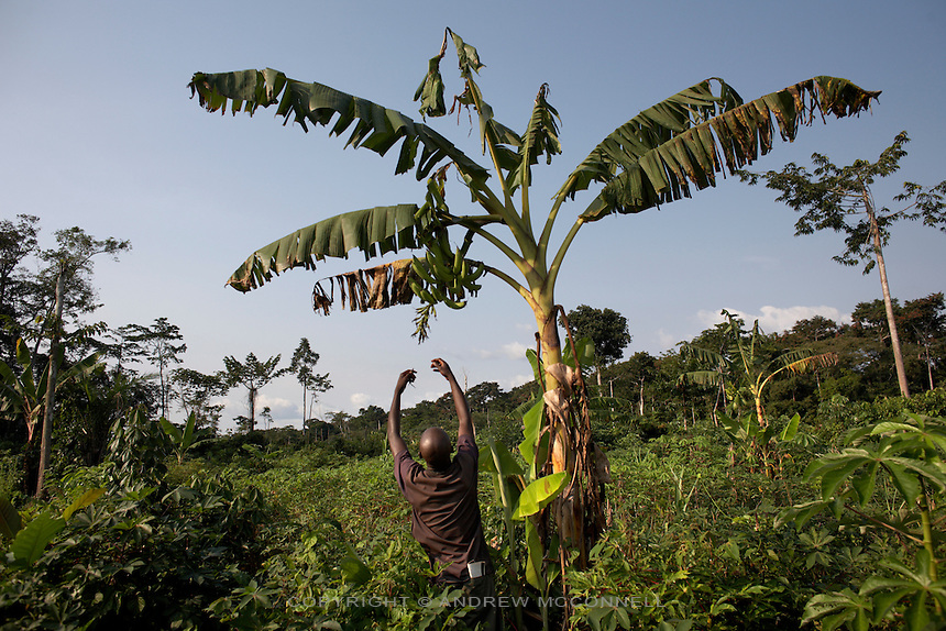 A man reaches to examine bananas on a plant in the village of Lokombe Lokombe, DR Congo, on Friday, Dec. 5, 2008. The communities here live much as they have done for centuries, with no electricity and little access to the outside world.