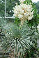 Beaked Yucca in flower Yucca rostrata