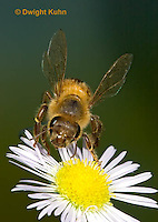 1B05-501z  Honeybee flying from flower, note 4 wings,  Apis mellifera